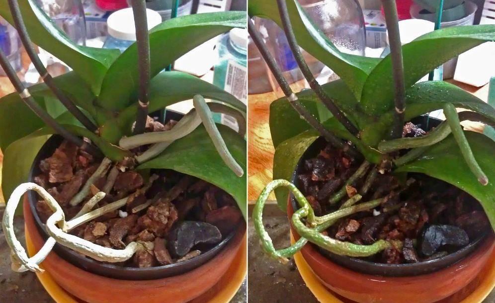 Как поливать орхидею фаленопсис в домашних условиях - 3 основных правил