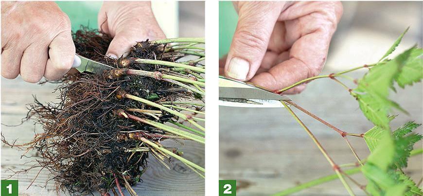 Травянистая лапчатка: сорта, рекомендации по посадке и уходу