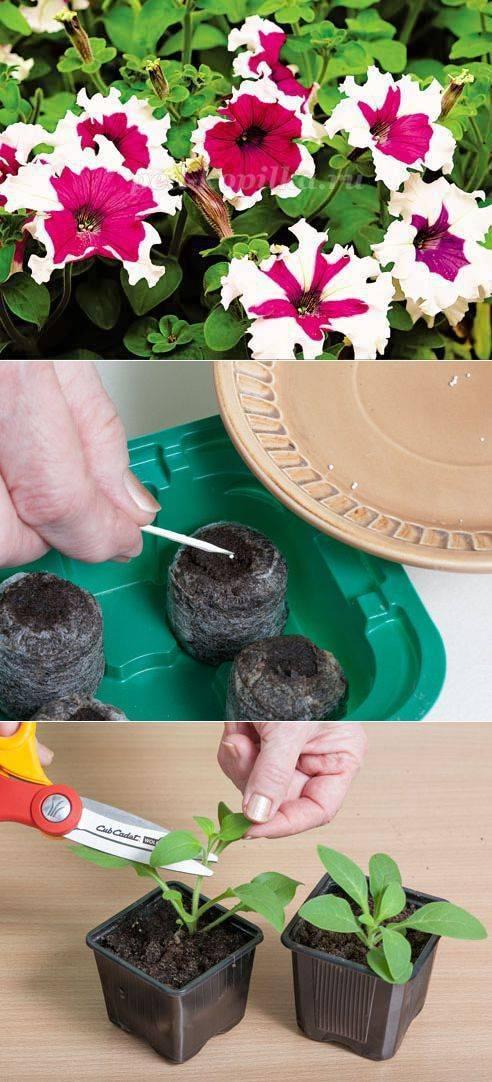 Как прищипывать петунию: фото пошагово