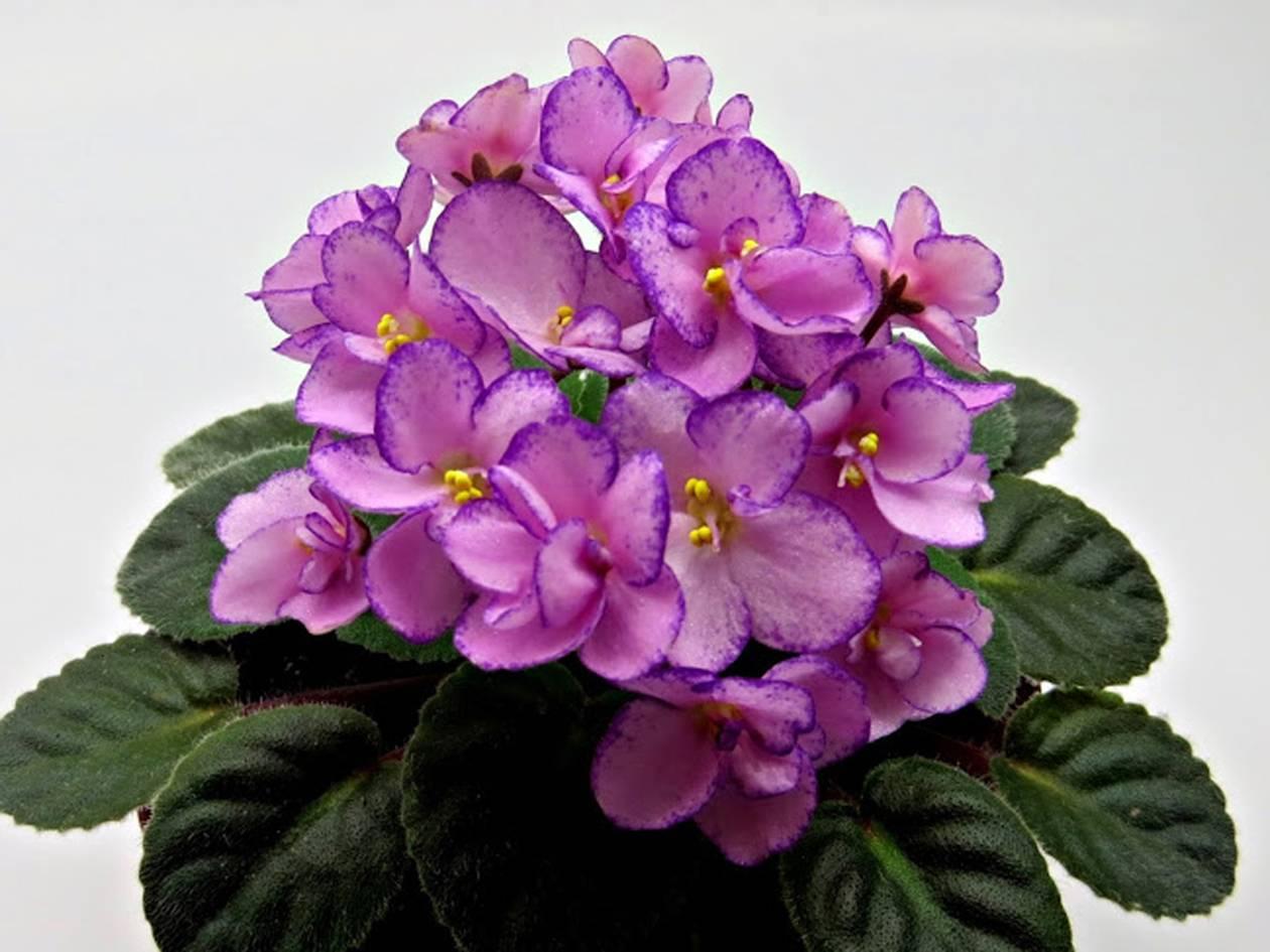 Лечебные свойства цветка фиалка трехцветная — описание растения