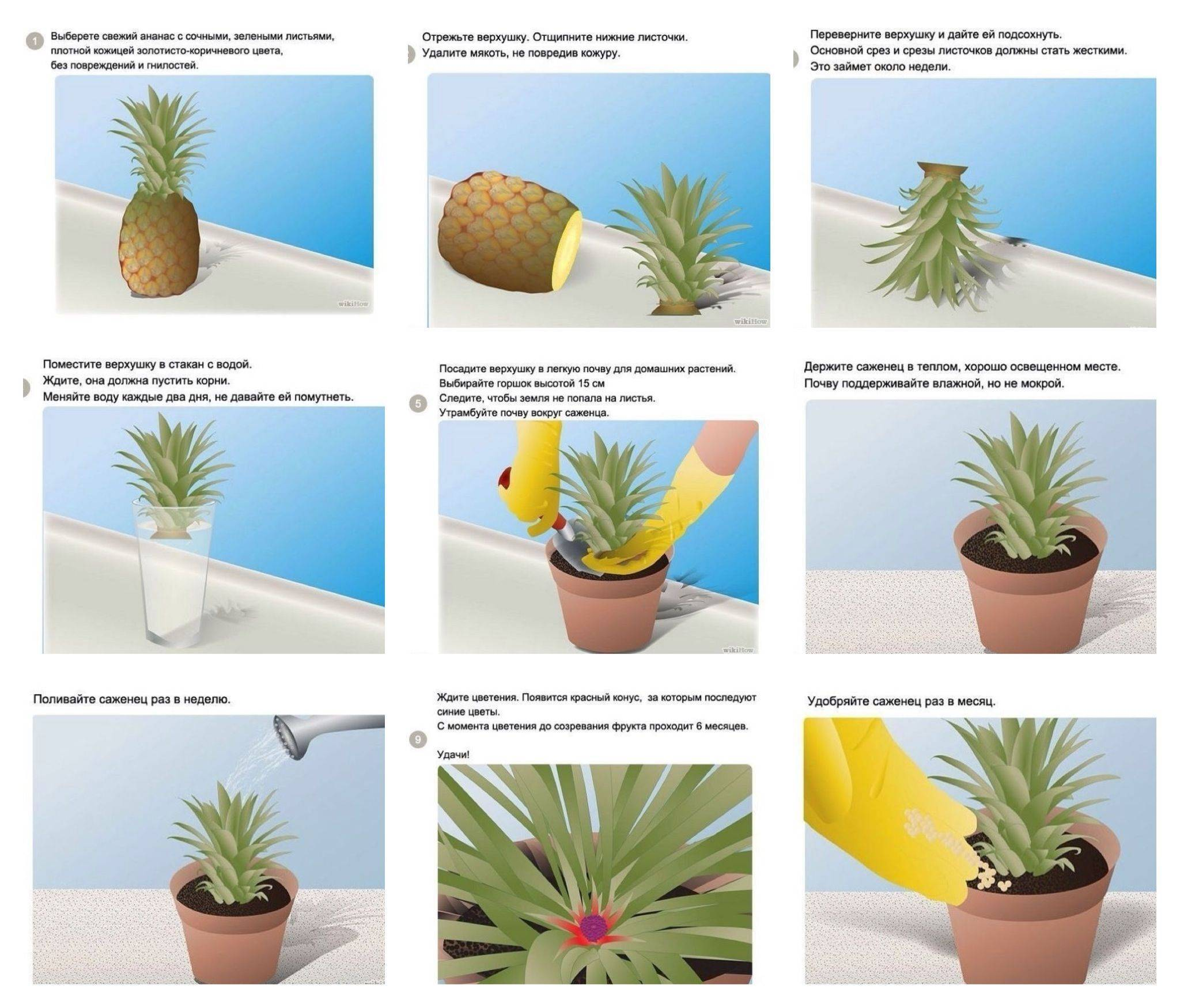 Как вырастить ананас из верхушки в домашних условиях