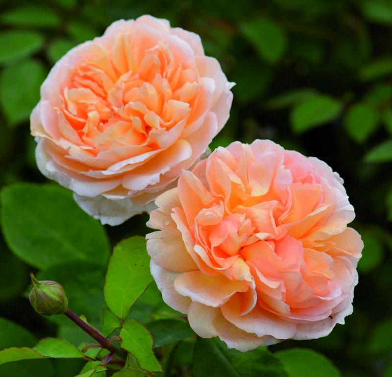 Красные розы дэвида остина - обзор сортов, описания. лучшие красные остинки | о розе