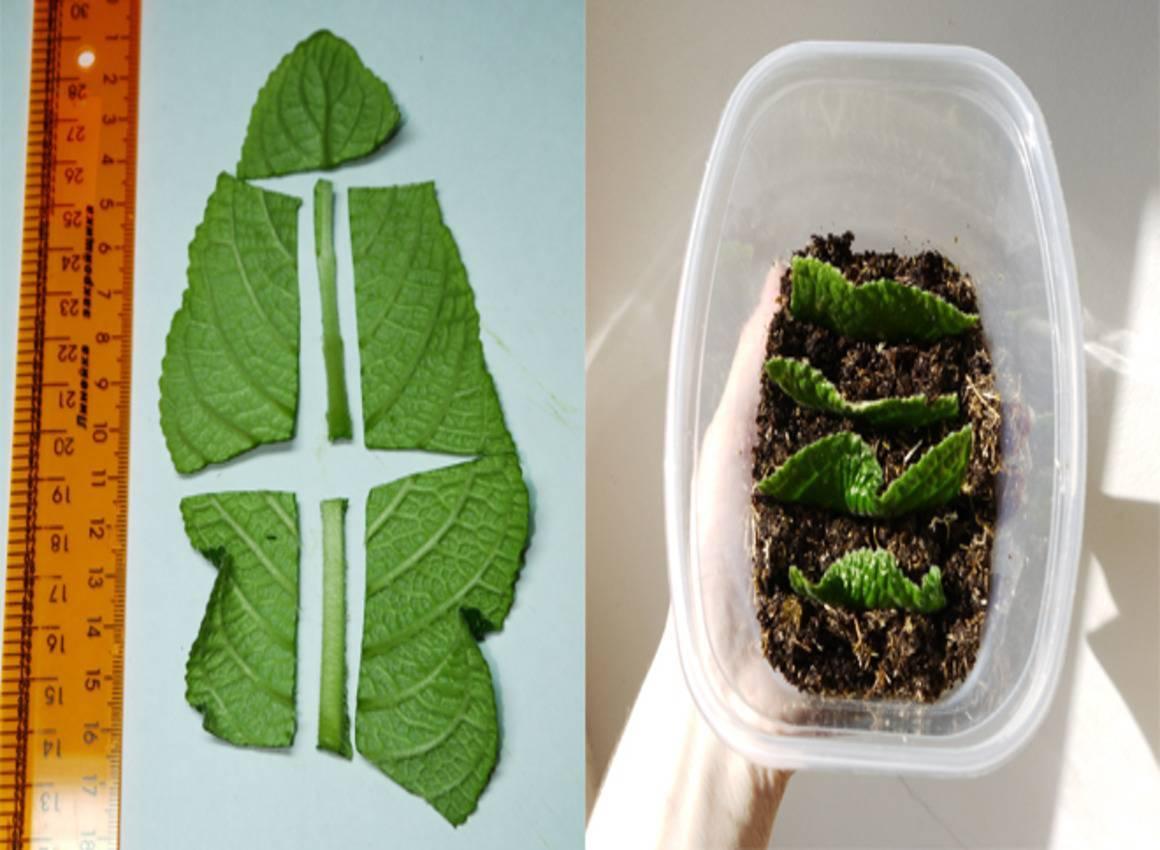 Стрептокарпус: фото и виды, выращивание и уход в домашних условиях