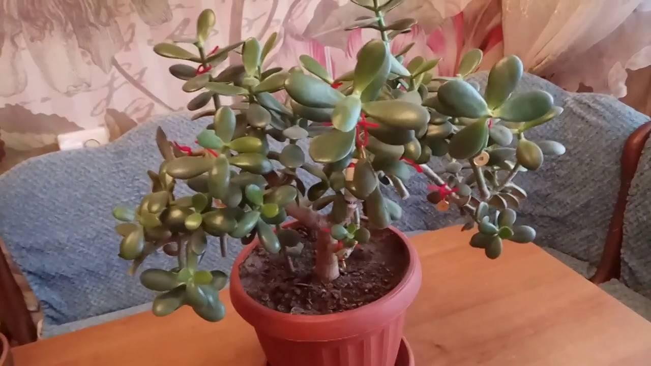Размножение денежного дерева (толстянки) черенками, как укоренить лист