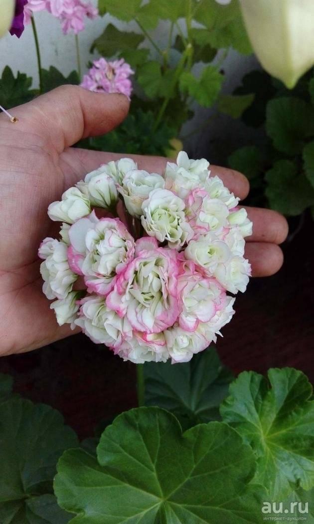 Пеларгония сутарве клара сан — характеристики сорта и выращивание