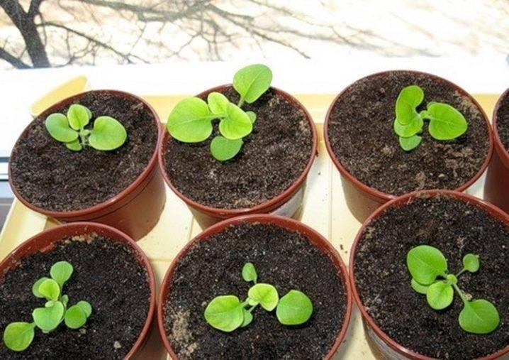 Выращивание бальзамина из семян