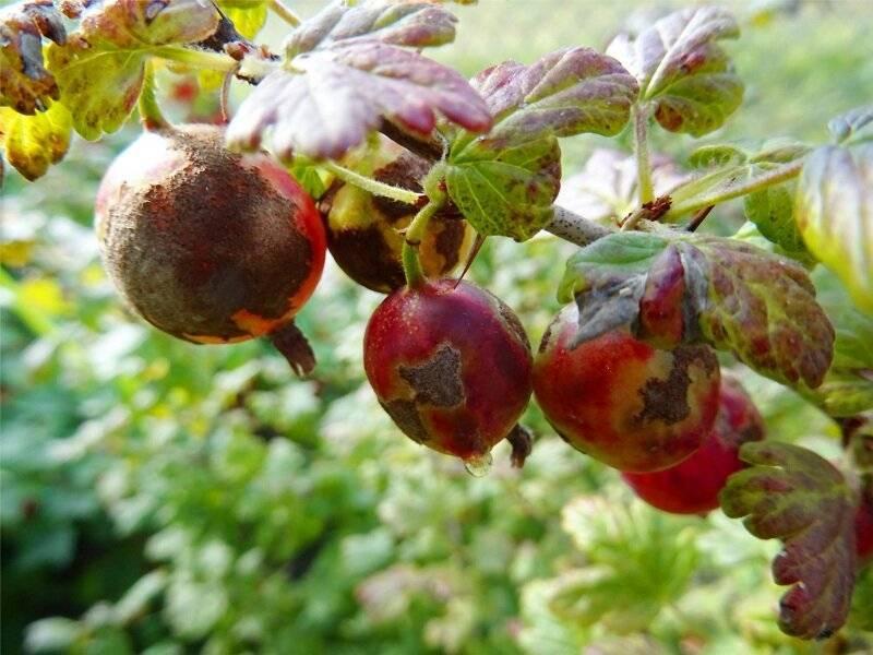 Почему у крыжовника белеют ягоды: причины появления белого налета. болезни и вредители крыжовника (105 фото)