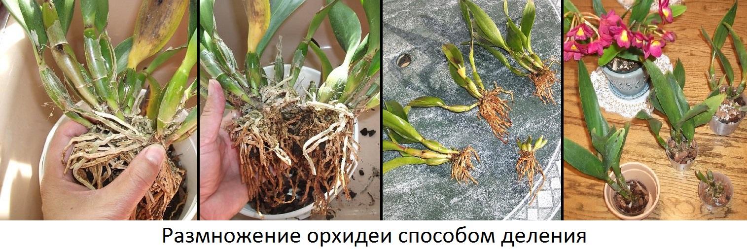 Каттлея – роскошная королева орхидей