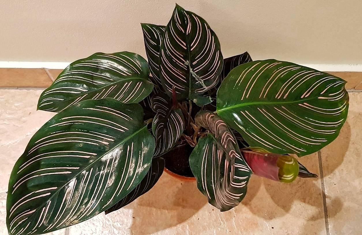 Выращивание калатеи кроката: как посадить, ухаживать, удобрять, размножать