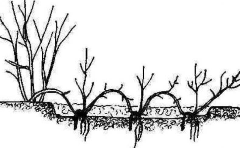 Спирея японская – посадка и уход в открытом грунте (фото внутри)