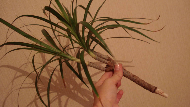 Как обрезать пальму: советы для начинающих цветоводов