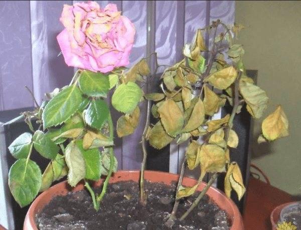 Почему роза скинула все листья. что делать, если у роз опадает листва