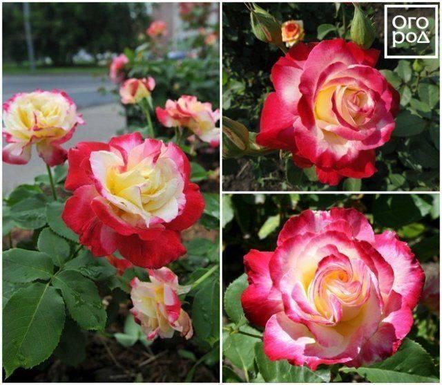 Описание ароматной чайно-гибридной розы дабл делайт