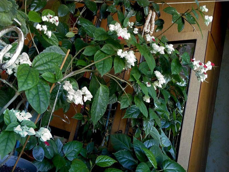 Как ухаживать заклеродендрумом томпсона: превращаем лиану вкуст или деревце