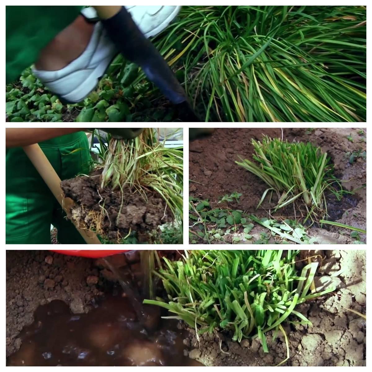Цветок лилейник – посадка и уход в открытом грунте, фото лилейника, пересадка и размножение лилейников