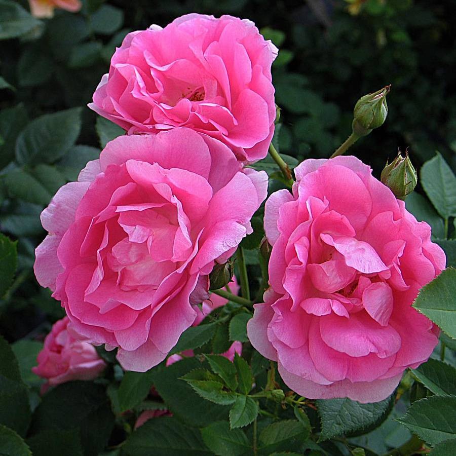 Выращивание парковых роз: как посадить и ухаживать в открытом грунте для новичков