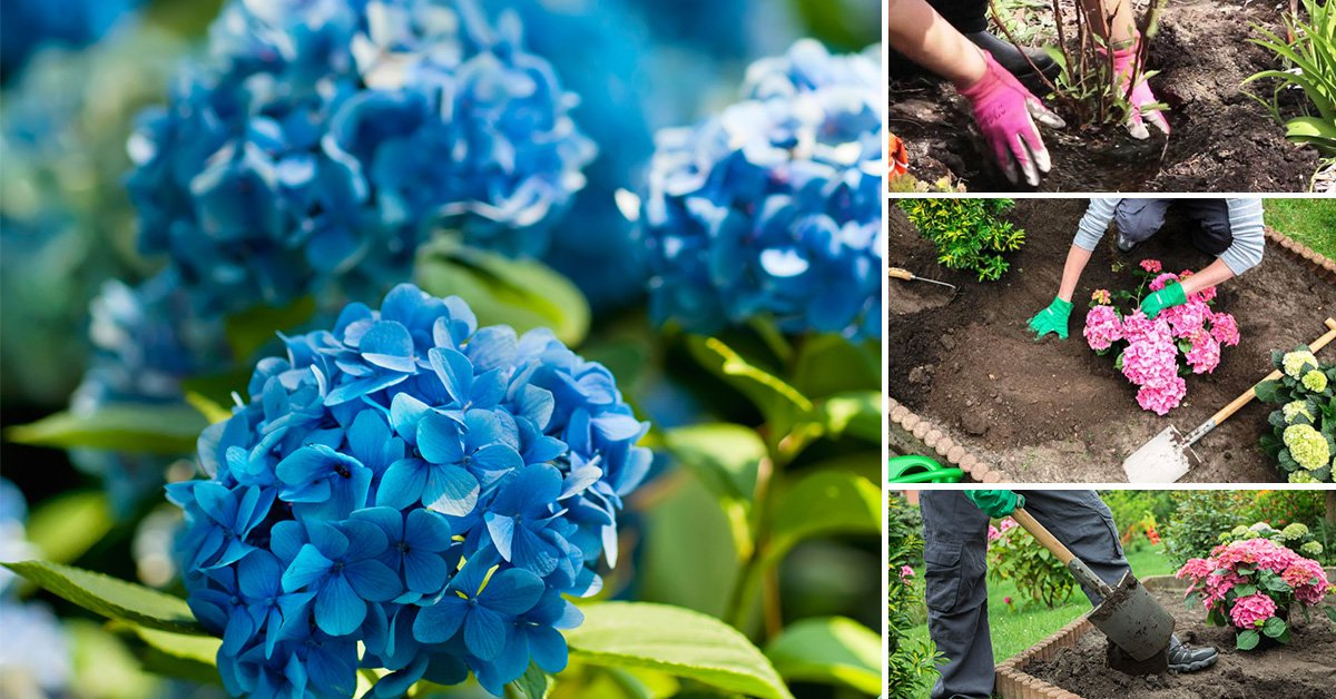 Гортензия Канделайт — описание и выращивание сорта в открытом грунте