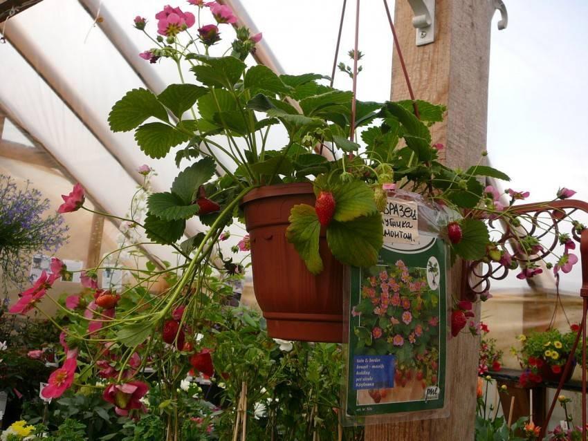Земляника ампельная: сорта, посадка, уход и выращивание в горшках