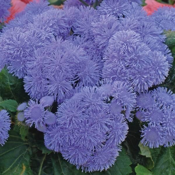 Агератум голубой (мексиканский): фото цветов «голубая норка» и других сортов, уход за растениями