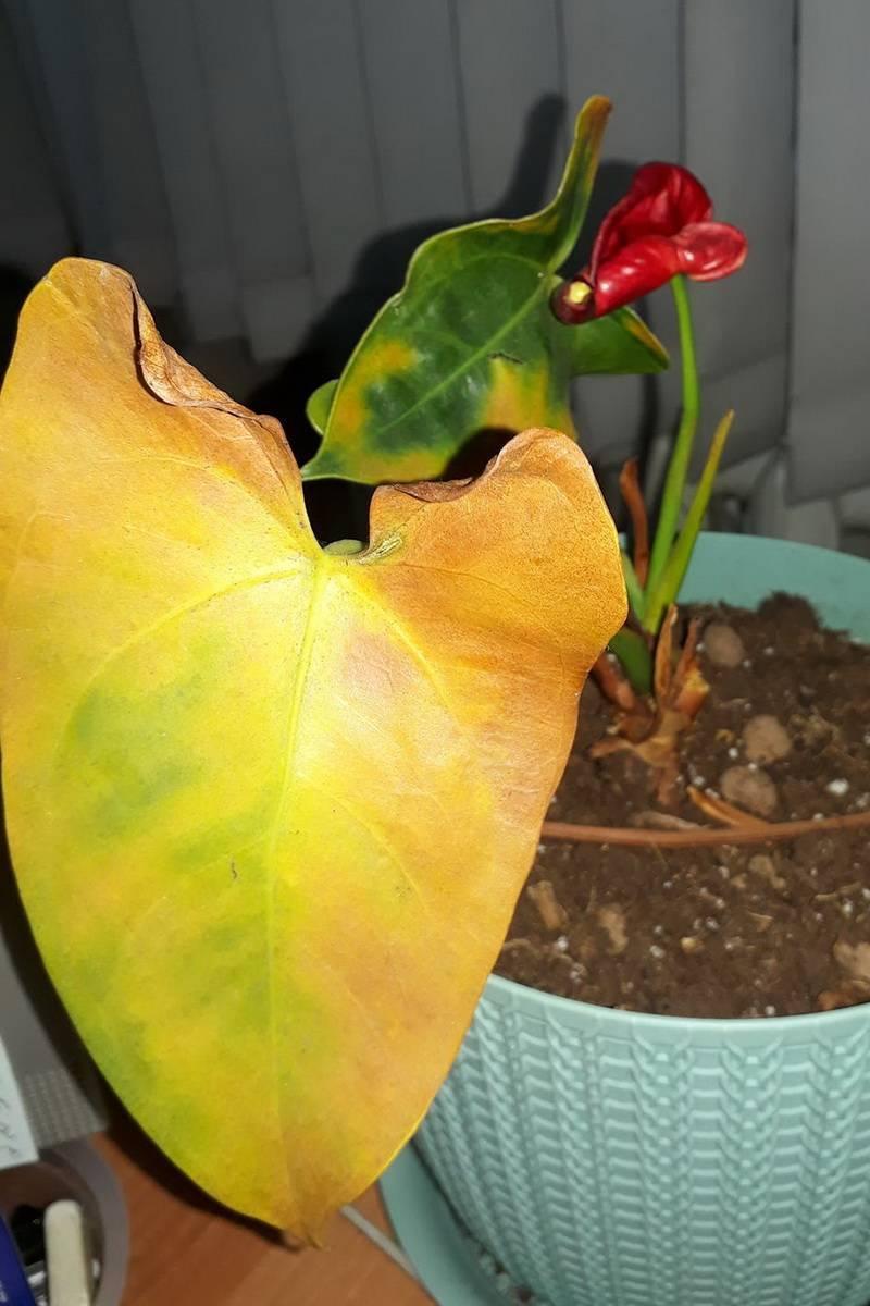 Уход за цикасом в домашних условиях: желтеют листья на цветке, что делать