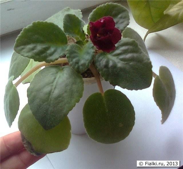 Разные проблемы с листьями фиалок
