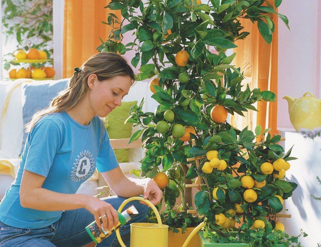 Каллистемон лимонный: примеры по уходу в домашних условиях