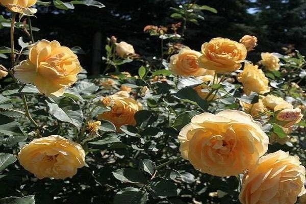 Английские розы (75 фото): характеристика, сорта, выбор и посадка саженцев, уход, полив, обрезка, подкормка, подготовка к зиме, болезни и вредители, правила размещения в саду и сочетания с другими растениями