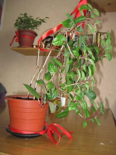 Фуксия уличная — выращивание и уход в саду