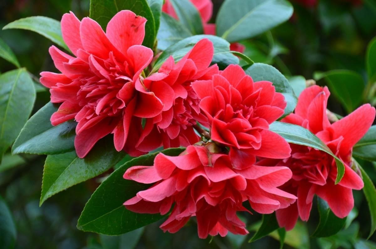 Камелия цветок — японская, красная, китайская белая