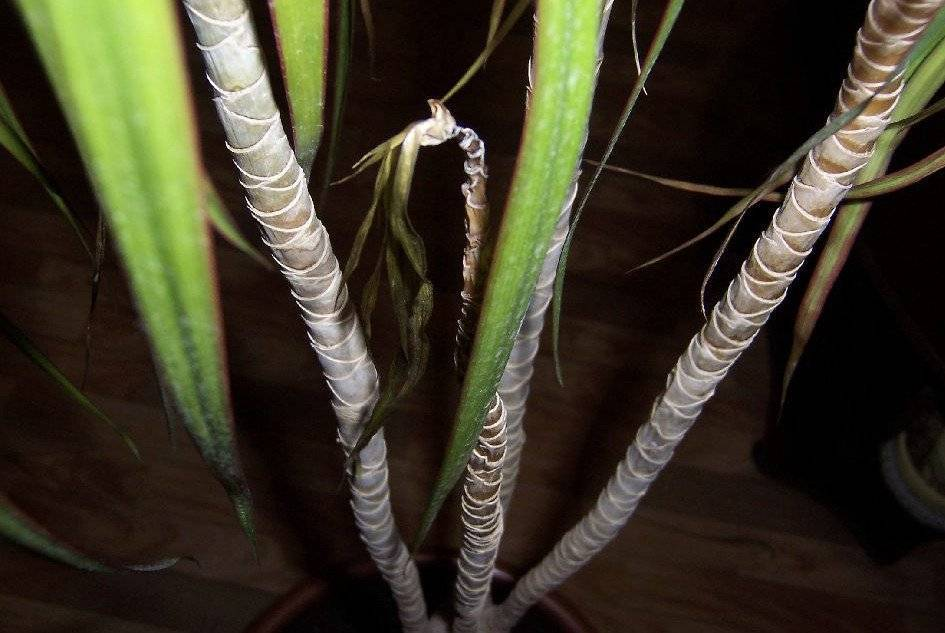 Болезни пальм в домашних условиях: чем болеют экзотические красавицы и как их лечить?