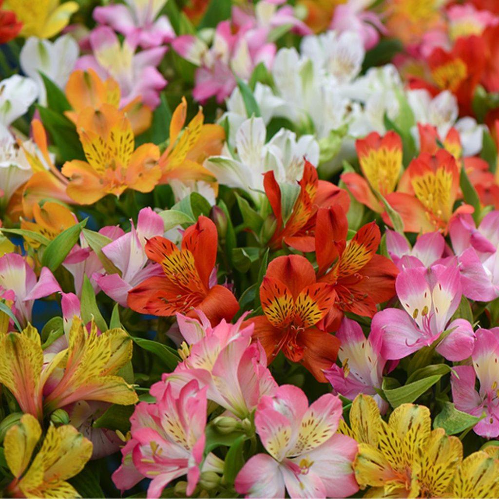 Цветок альстомерия или перуанская лилия: посадка и уход в открытом грунте