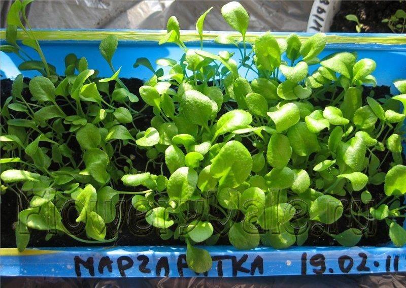 Садовая маргаритка. цветок маргаритка: посадка и уход