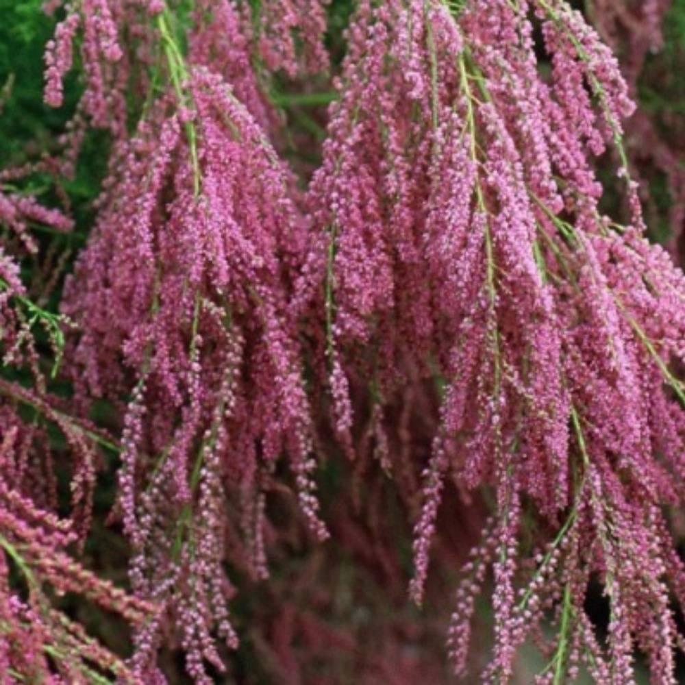 Неприхотливые растения для сада – тамарикс