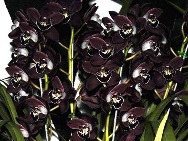 Черная орхидея: описание, виды и выращивание