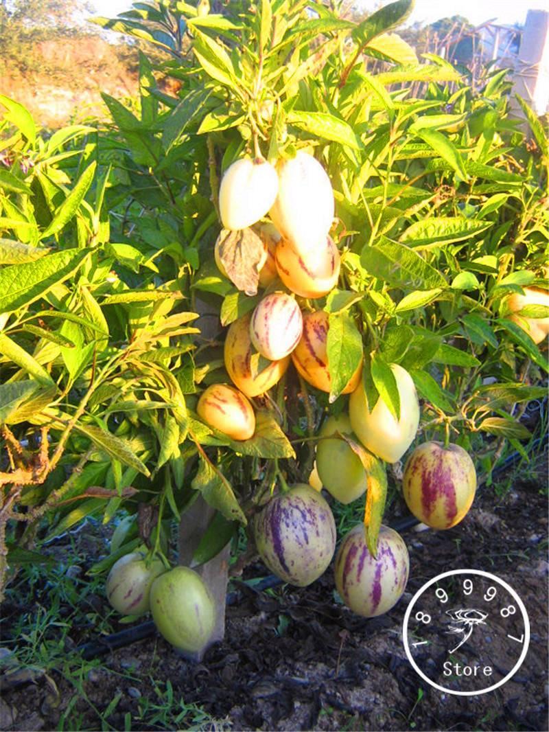 Пепино: выращивание в домашних условиях - ты-фермер