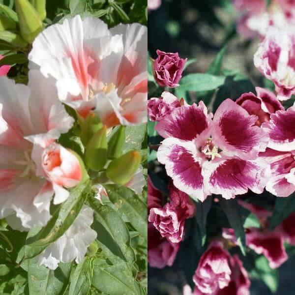 Цветок годеция: выращивание из семян в домашних условиях