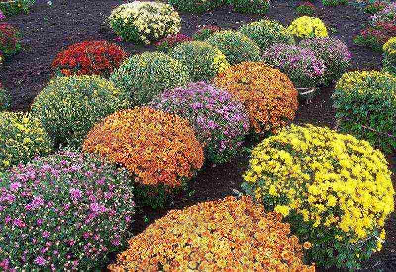 Как выращивать хризантемы мультифлора
