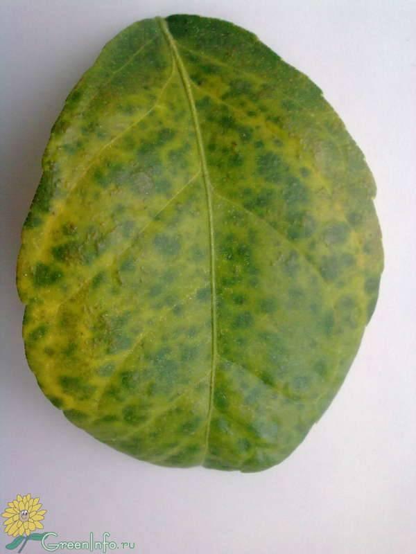 Болезнь лимона домашнего причины и лечение