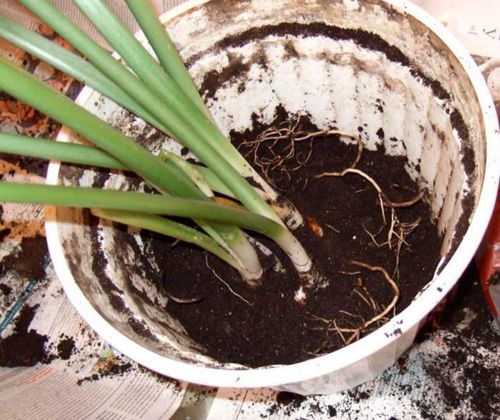 Эухарис (амазонская лилия): описание и уход при выращивании