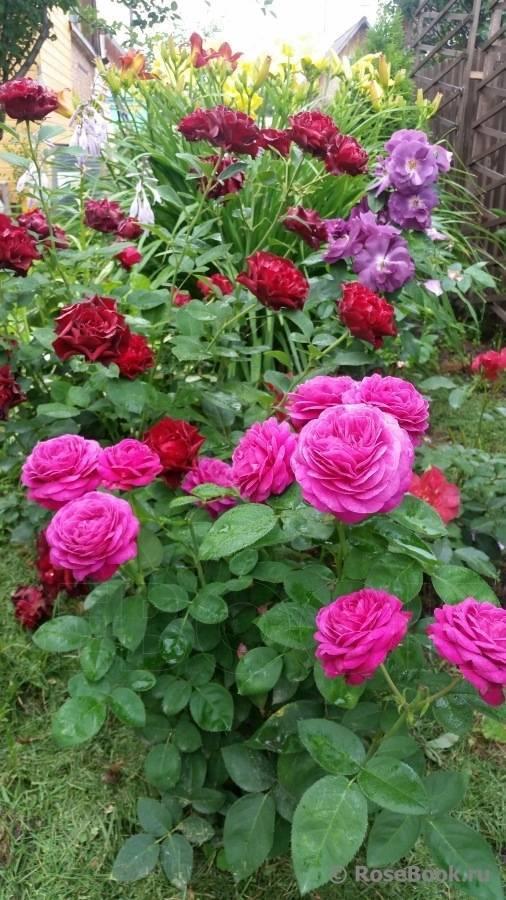 Как ухаживать за розами патио хит микс в домашних условиях и открытом грунте
