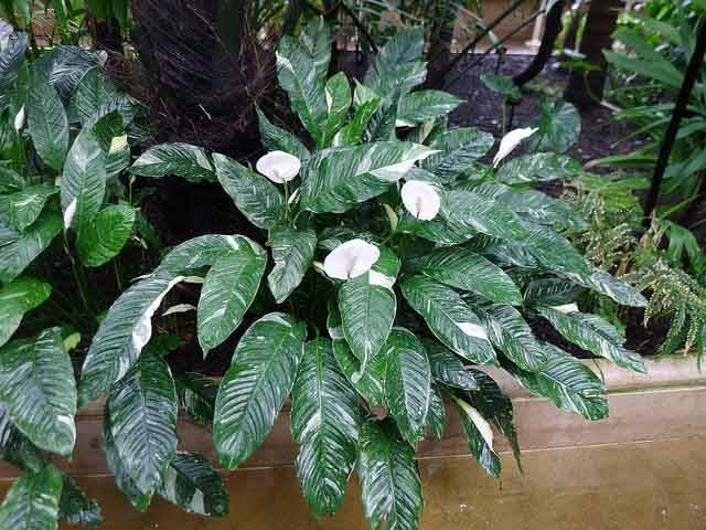 Спатифиллум «домино»: описание сорта, особенности ухода