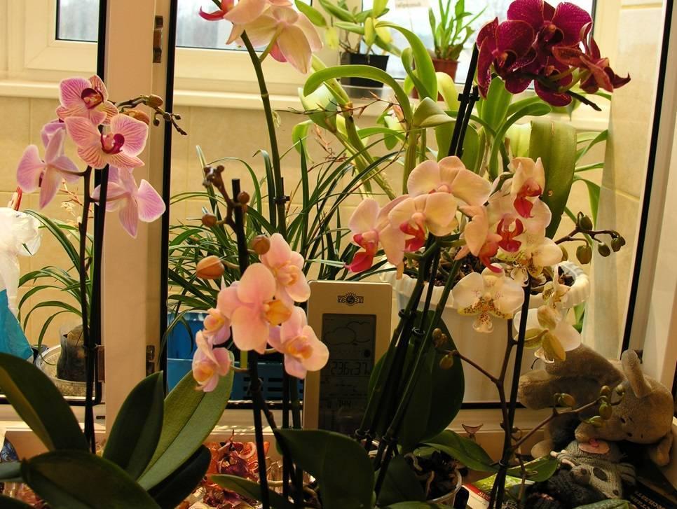Каких цветов бывают орхидеи? 29 фото описание бордовых и оранжевых, лимонных и других цветов орхидеи. как покрасить орхидею в домашних условиях?