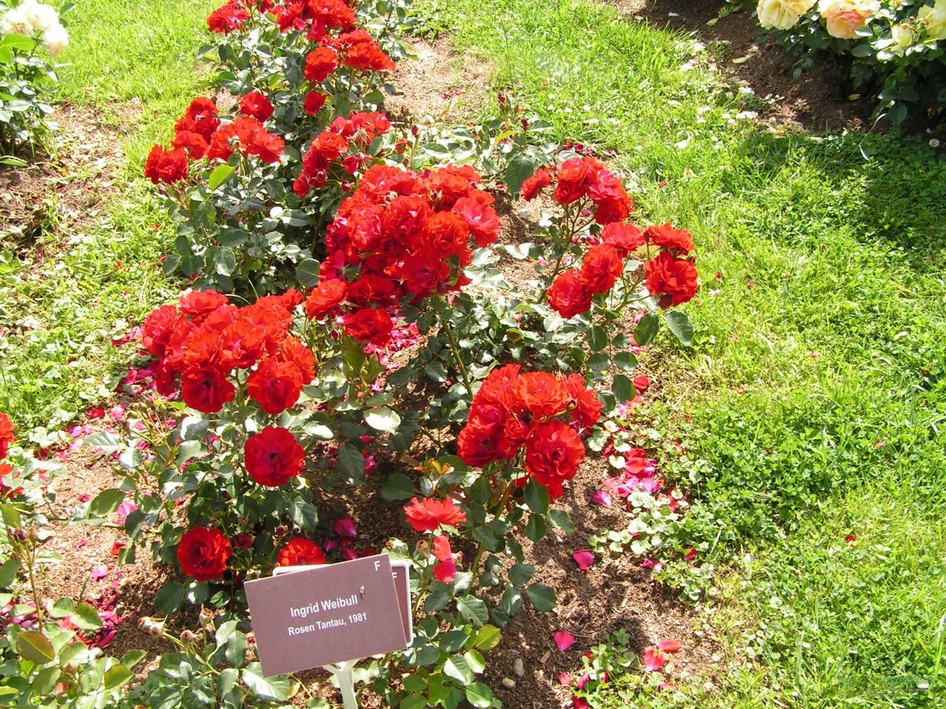 Особенности и выращивание роз сорта «нина вейбул»