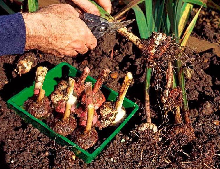 Нарциссы после цветения: что с ними делать, как ухаживать?