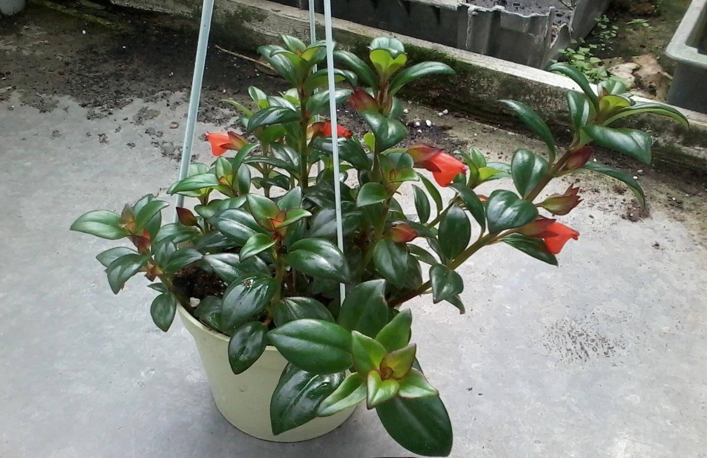 Цветок нематантус: правильный уход в домашних условиях, необыкновенная красота, размножение