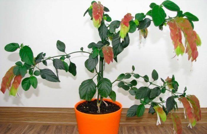 Алоэ древовидное — что это, описание растения