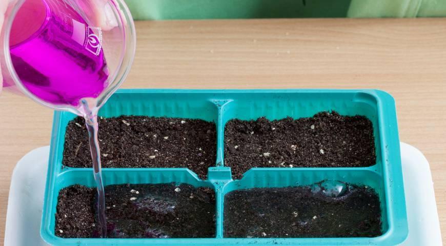 Как вырастить из семян ампельный катарантус