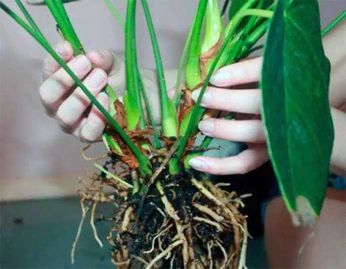 Как вырастить спатифиллум из семян и из саженцев? какой метод лучше использовать?