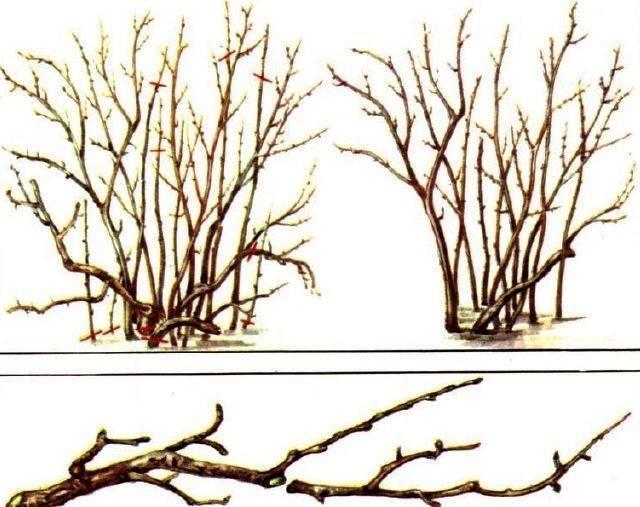 Обрезка крыжовника весной для начинающих в картинках пошагово