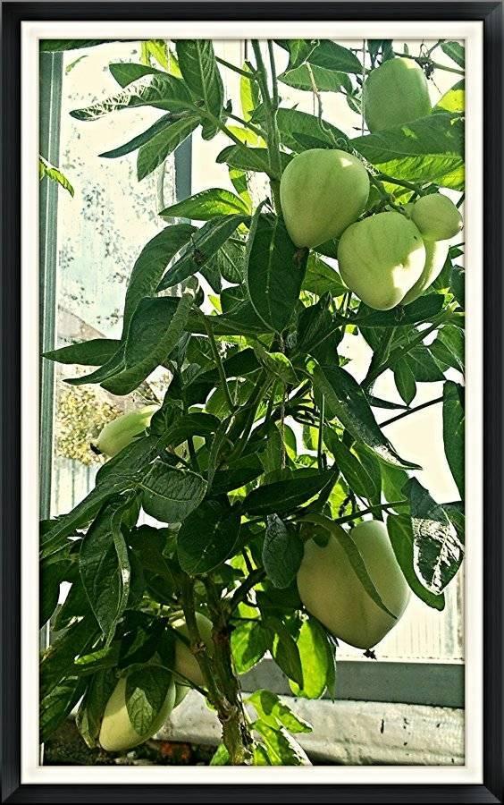 Фрукт пепино (дынное дерево): фото, виды, выращивание в домашних условиях